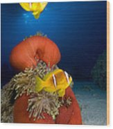 Magnificent Red Anemone With Anemone Fish Wood Print