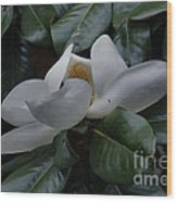 Magnolia In Full Bloom Wood Print