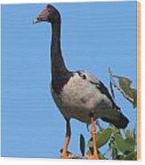 Magpie Goose Wood Print