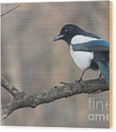 Magpie Perched On Twig Wood Print