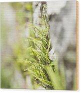 Maiden-hair Spleenwort Wood Print