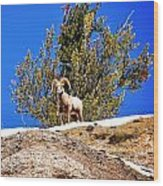 Majestic Big Horn Sheep Wood Print