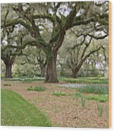 Majestic Live Oaks In Spring Wood Print
