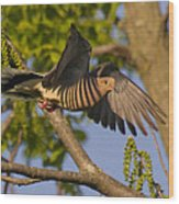 Majestic Mourning Dove  Wood Print