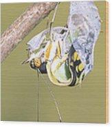 Malachite Butterfly Emerging 4 Of 6 Wood Print