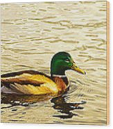 Malard Drake In Golden Light Wood Print