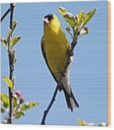 Male American Goldfinch Gathering Feathers For The Nest Wood Print