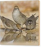 Male And Female Eurasian Blackcaps Wood Print