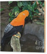 Male Andean Cock-of-the-rock Wood Print
