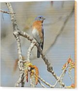 Male Bluebird In Budding Tree Wood Print
