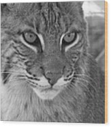 Male Bobcat - Black And White Wood Print by Jennifer  King