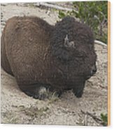 Male Buffalo At Hot Springs Wood Print
