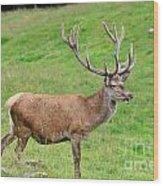 Male Deer On Field Wood Print