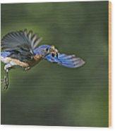 Male Eastern Bluebird Wood Print