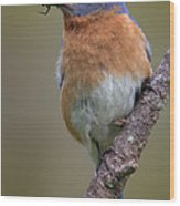Male Eastern Bluebird With Spider Wood Print