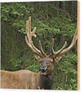 Male Elk, Bow Valley Parkway, Banff Wood Print
