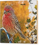 Male Finch In Autumn Leaves Wood Print