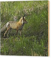 Male Fox   #3521 Wood Print