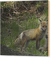 Male Fox And Pup   #3554 Wood Print