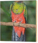 Male Golden-headed Quetzal Wood Print