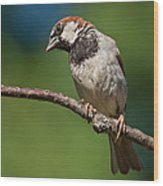 Male House Sparrow Perched In A Tree Wood Print