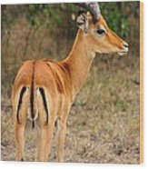 Male Impala With Horns Wood Print
