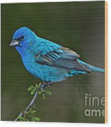 Male Indigo Bunting Wood Print