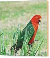 Male King Parrot  Wood Print