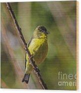Male Lesser Goldfinch Wood Print