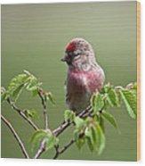 Male Lesser Redpoll  Carduelis Cabaret Wood Print