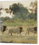 Male Lions At Dawn, Moremi Game Wood Print