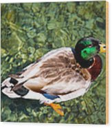 Male Mallard Swimming Wood Print