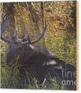 Male Moose   #3865 Wood Print