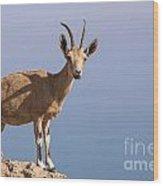Male Nubian Ibex 1 Wood Print