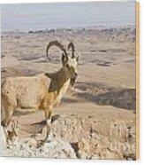 Male Nubian Ibex Capra Ibex Nubiana 1 Wood Print