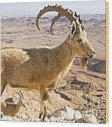 Male Nubian Ibex Capra Ibex Nubiana Wood Print