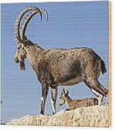 Male Nubian Ibex Wood Print