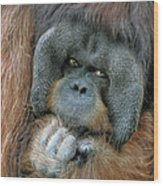 Male Orangutan  Wood Print