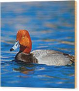 Male Red Head Duck Wood Print