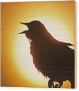 male Red-winged Blackbird singing at sunrise Wood Print