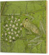 Male Reticulated Glass Frog  Guarding Wood Print