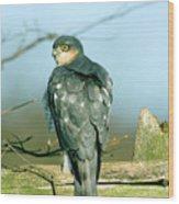 Male Sparrowhawk Wood Print