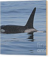 Male Transient Orca In Monterey Bay 11-10-13 Wood Print