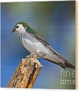 Male Violet-green Swallow Wood Print
