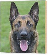 Malinois, Belgian Shepherd Dog Wood Print