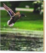 Mallard   Taking Flight Wood Print