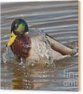 Mallard Drake Bathing Wood Print