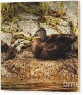 Mallard Duck Onaping Wood Print