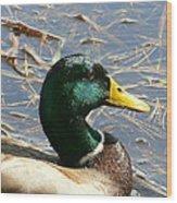 Mallard Duck Portrait Wood Print