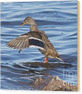 Mallard Duck Showing Off Wood Print